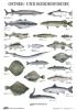 Plakat Ostsee- und Boddenfische