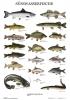 Plakat Süßwasserfische